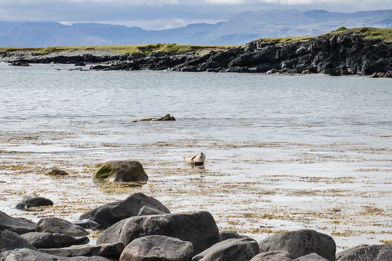 Péninsule de Snaefelsnes,  les phoques se dorent la pilule au soleil.