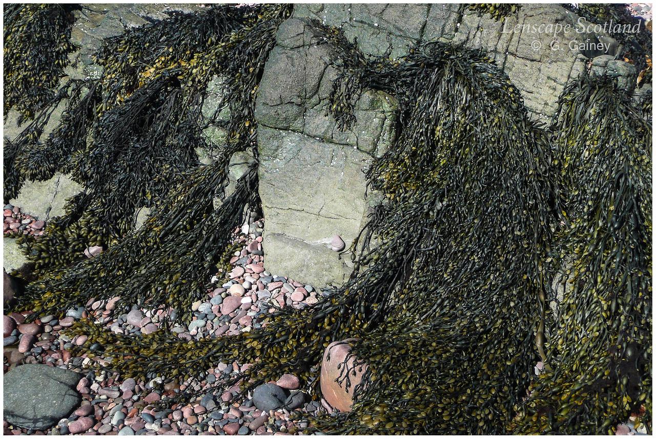 Seaweed, Guirdil Bay