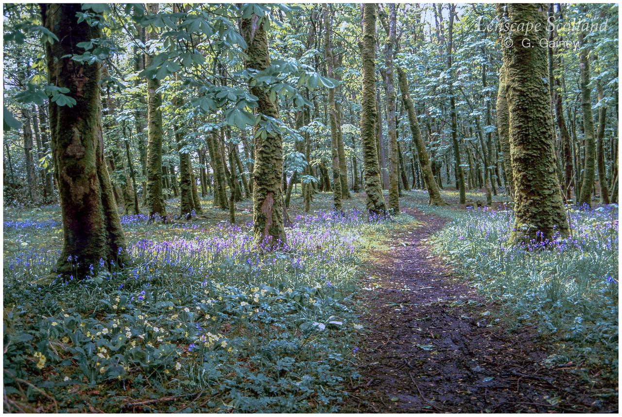 Bluebell woods, Kinloch Castle (1989)