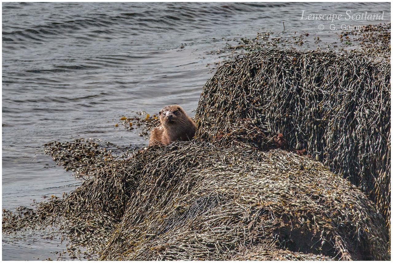 Otter, Loch Ainort