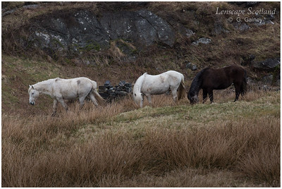 Eriskay ponies, Acairseid Mhor, Isle of Eriskay 3