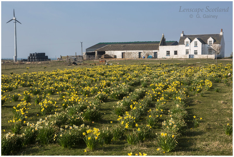 Daffodil field, Tor a'Bhaile, Ruaig