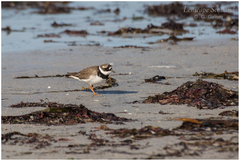 Ringed plover, Balephetrish Bay