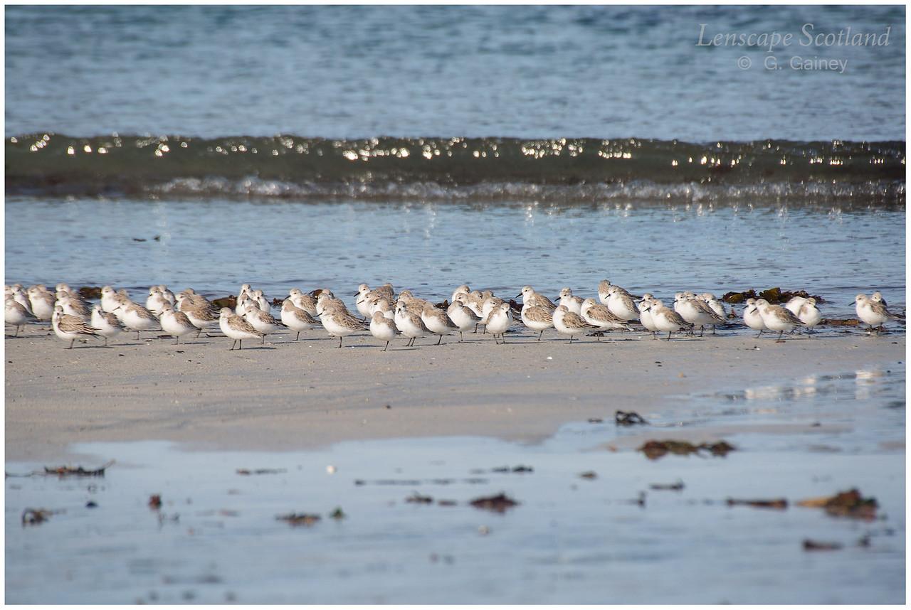 Sanderlings, Balephetrish Bay