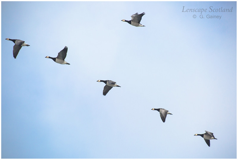 Barnacle geese skein, Balevullin