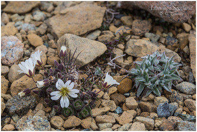 Keen of Hamar flora 1 (Unst)
