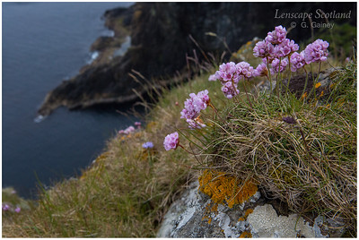 Keen of Hamar sea pink (thrift) (Unst)