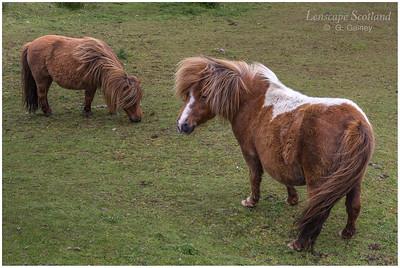 Shetland ponies, Northdale, Valsgarth (Unst)