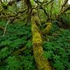 Vine Maple Forest Floor