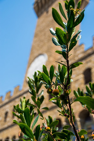 Olive Tree at the Tower of Arnolfo