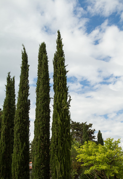 Cypress trees typical of the landscape in Tuscany, Italy