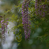 wisteria ~ Michigan