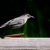 Gray Catbird ~ Dumetella carolinensis ~ Huron River Watershed, Michigan