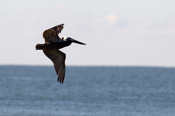 Brown Pelican ~ Pelecanus occidentalis  ~ Southern Outer Banks