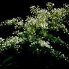 False Spirea ~ Sorbaria sorbifolia ~ Rosaceae (Asia) ~ Huron River Watershed, Michigan