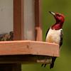 Red-headed Woodpecker ~ Melanerpes erythrocephalus