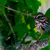 Song Sparrow ~ Melospiza melody ~ Huron River Watershed, Michigan