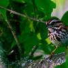 Song Sparrow ~ Melospiza melody ~ Huron River Watershed, Michigan