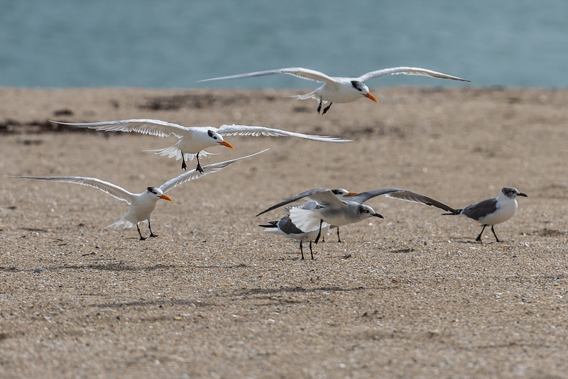 Royal Terns (with Laughing Gulls) ~ Thalasseus maximus ~ Port St. Lucie, Florida