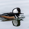 Hooded Merganser ~ Lophodytes cucullatus ~ Huron River and Watershed
