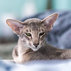 Blue, Our Oriental Shorthair