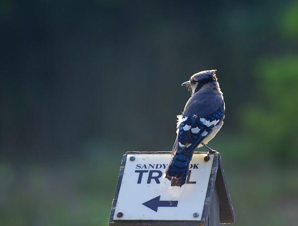 pointing the way ~ Blue Jay perching ~ Cyanocitta crostata ~ Lake Huron