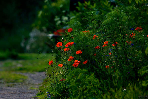 red poppies ~ Huron River and Watershed