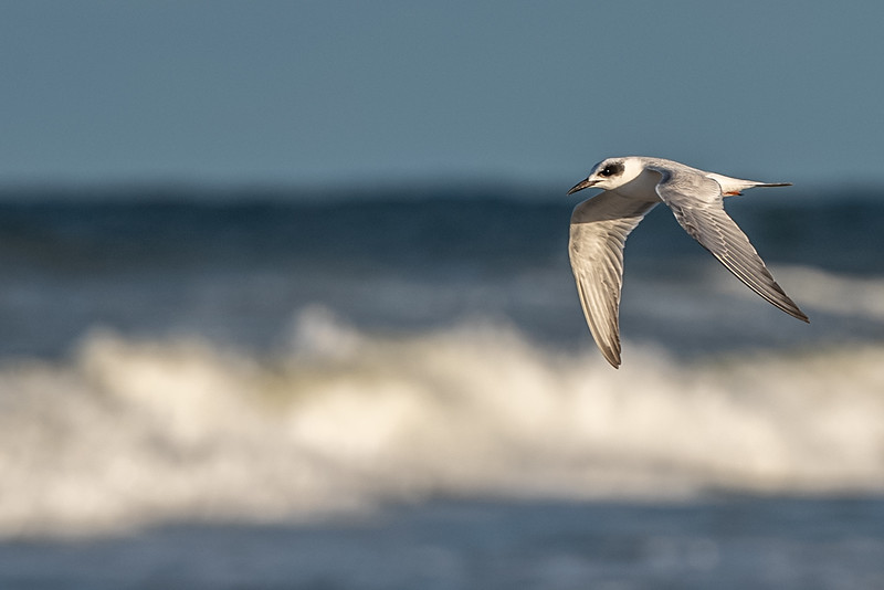 Forster's Tern, in non-breeding plumage ~ Sterna forsteri ~ New Smyrna Beach, Florida