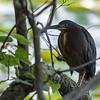 Green Heron ~ Butorides virescens