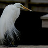Great Egret ~ Ardea alba ~ Southern Outer Banks