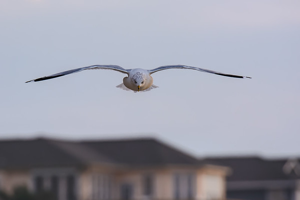 Ring-billed Gull ~ Larus delawarensis ~ Southern Outer Banks