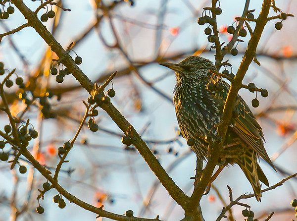 European Starling, winter/non-breeding adult ~ Sturnus vulgaris
