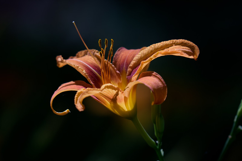 lovely lily ~ Huron River and Watershed