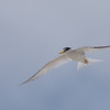 Least Tern ~ Sternula antillarum