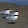 The Royal Tern Trio ~ Thalasseus maximus ~ Southern Outer Banks