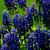 Muscari ~ Michigan