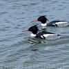 Red-breasted Merganser ~ Mergus serrator ~ Southern Outer Banks