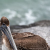 Brown Pelican ~ Pelecanus occidentalis ~ Port St. Lucie, Florida
