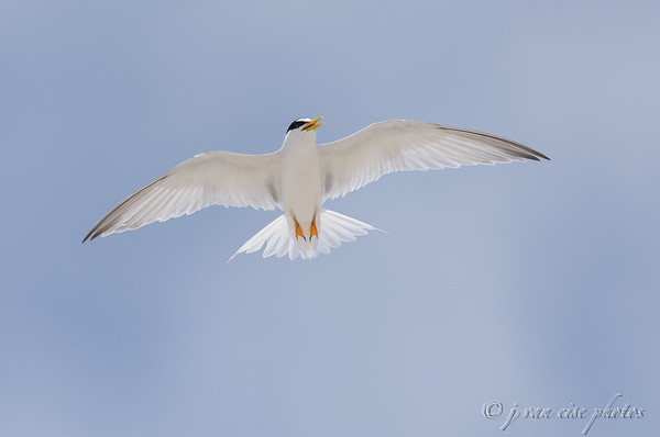 Another Perspective ~ Least Tern ~ Sternula antillarum ~ Southern Outer Banksuter Banks