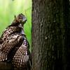 Red-tailed Hawk, manteling ~ Buteo jamaicensis ~ Huron River Watershed, Michigan
