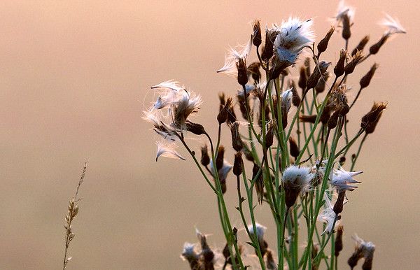 seedheads ~ Michigan