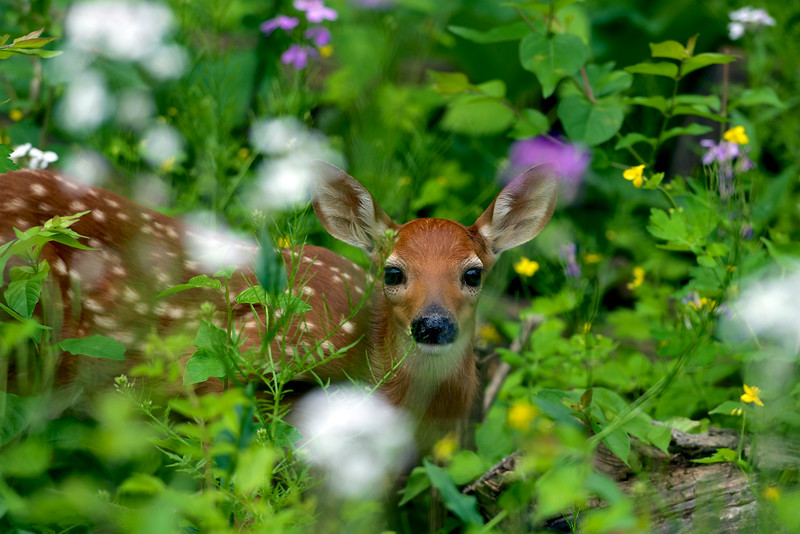fawn two of three ~ Huron River Watershed, Michigan