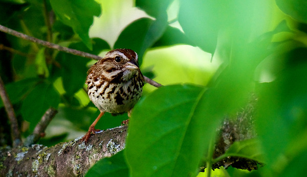 Song Sparrow ~ Melospiza melodia ~ Huron River Watershed, Michigan