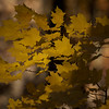 Autumn Leaves ~ Huron River and Watershed