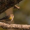 Yellow-rumped Warbler ~ Setophaga coronata ~ Southern Outer Banks, North Carolina