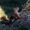American Red Squirrel ~ Tamiasciurus hudsonicus ~ Huron River and Watershed