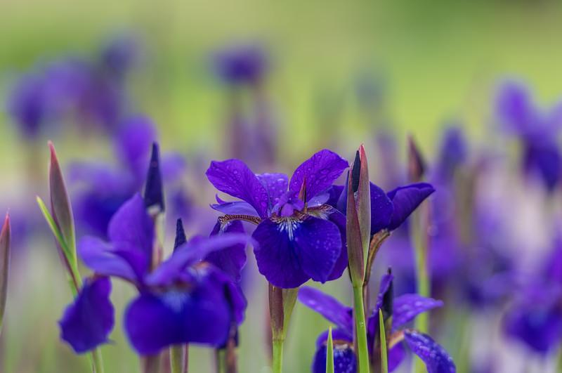 Siberian Iris ~ Huron River and Watershed