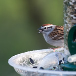 Chipping Sparrow, Feasting After the Rain ~ Spizella passerina ~ Huron River Watershed