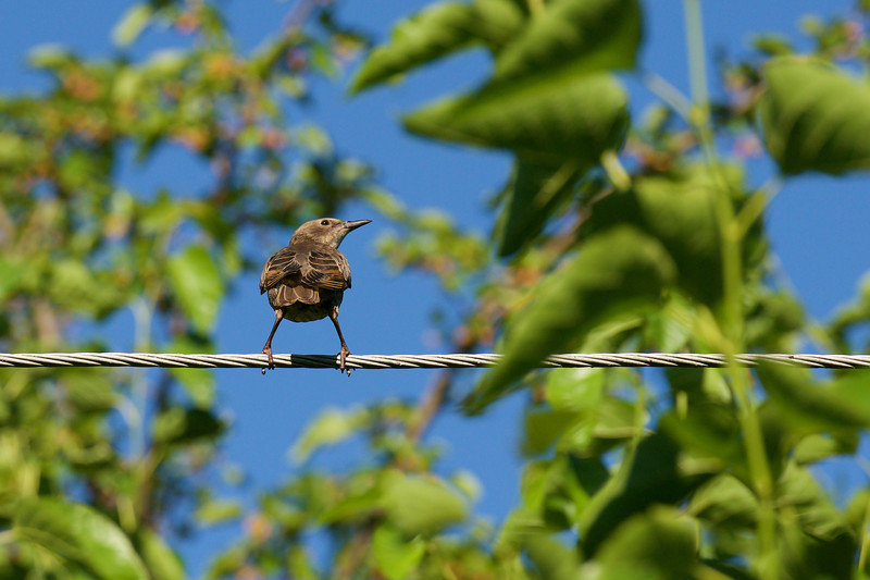 The Harmony of Starlings ~ European Starling, Juvenile ~ Sturnus vulgaris ~ Michigan