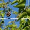 The Harmony of Starlings ~ European Starling, Juvenile ~ Sturnus vulgaris ~ Michigan